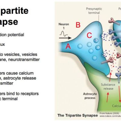 Astrocytes and the Tripartite Synapse